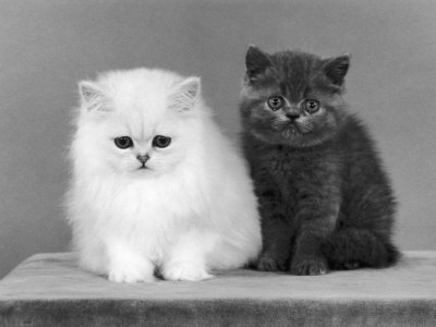 black-and-white-cat-cats-cute-Favim.com-430094
