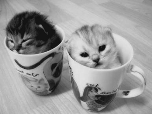 black-and-white-cat-copo-cup-cute-Favim.com-450804